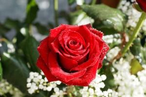 ruža, 8. mart
