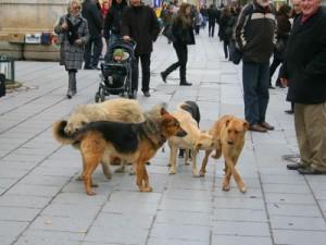 Sarajevo,  psi