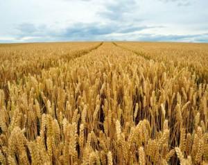hrana, pšenica