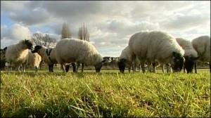 čoban, ovce