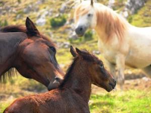 Prenj, konji
