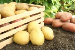 krompir, BiH