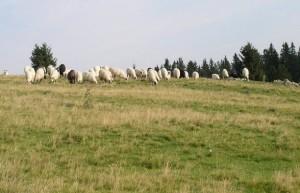 Vlašić, ovce