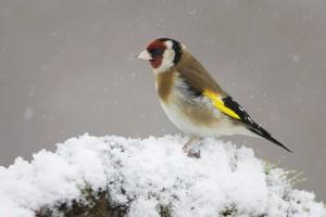 ptice, snijeg