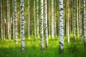Breza drvo