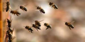 pčele, med