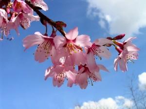 cvijet trešnje