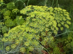 Kopar, biljka, zdravlje