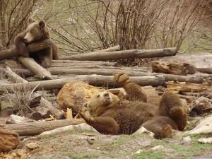 medvjed, Kutarevo