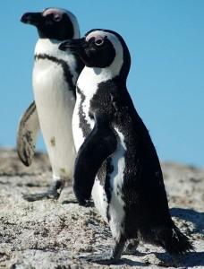 pingvin, Afrika