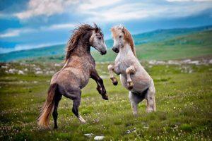 Bosanski brdski konj