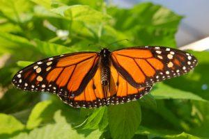 leptir monarh