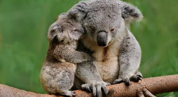 Koale